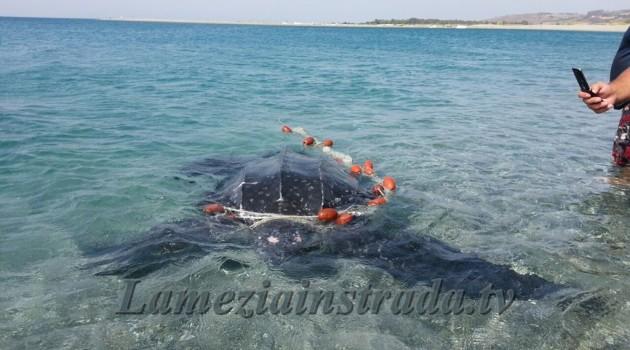 Tartaruga Liuto nelle acque di Gizzeria Lido
